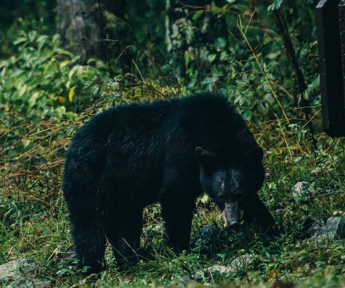 real_stars_centennial_poster_black_bear
