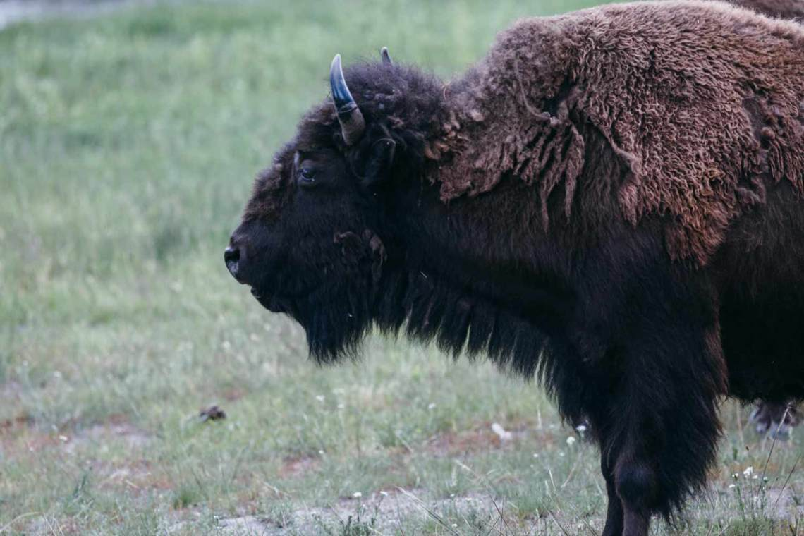 Can't mention Yellowstone without appreciating this lovely lady, reason #5 we are thankful for the park system. Without protection efforts, our national mammal would likely be extinct by now. The only truly wild bison exist within the boundaries of Yellowstone.