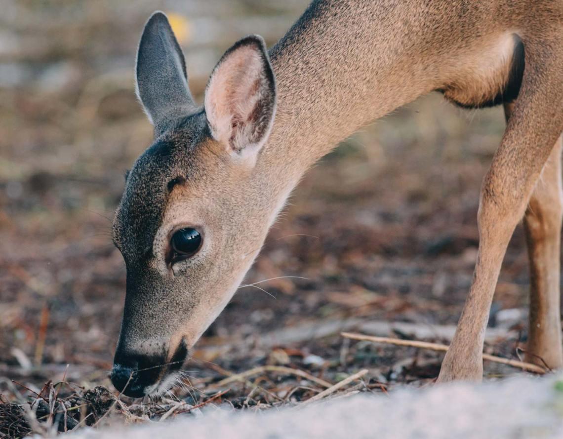 big_pine_deer_gaze_national_park_quest