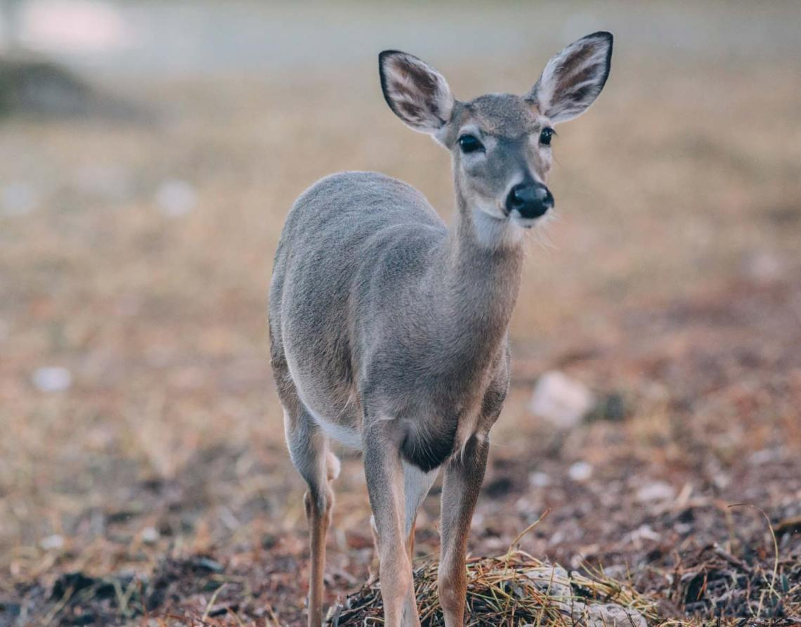 key_deer_national_park_quest_conservation