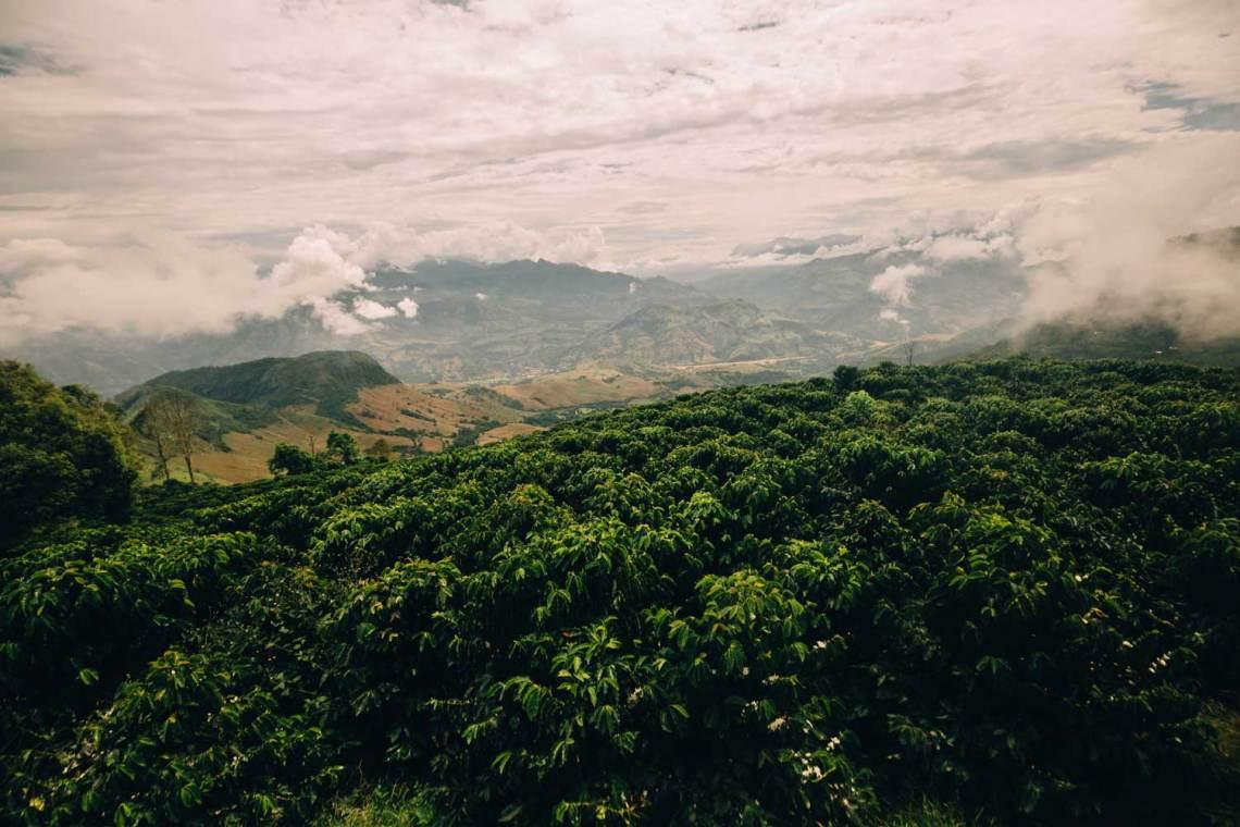 colombia_coffee_break_coffee_plants