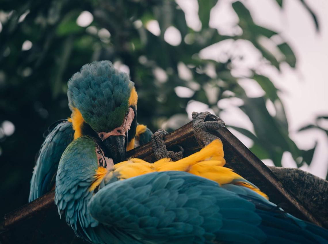 colombia_coffee_break_parrots