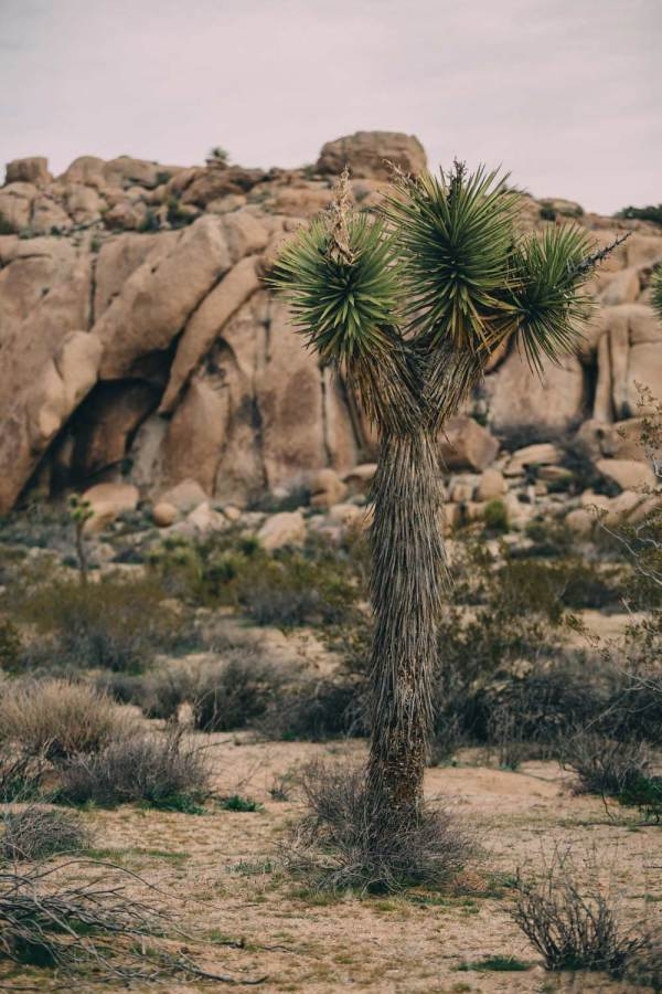joshua_tree_meaning_tree_afternoon