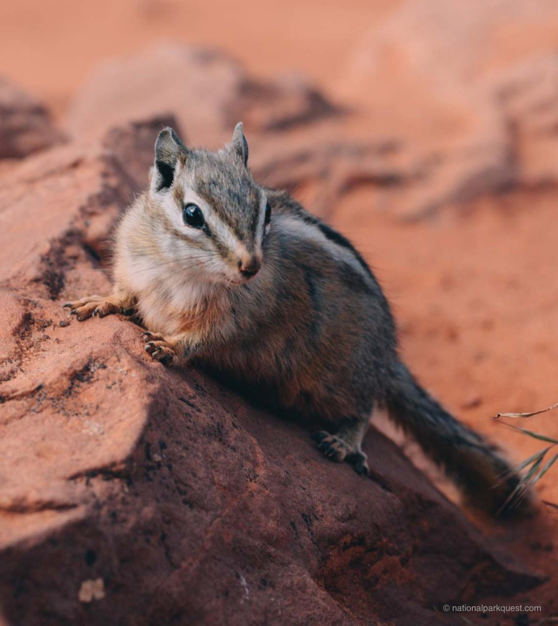 magical_trails_zion_national_park_quest_trail_chipmunk
