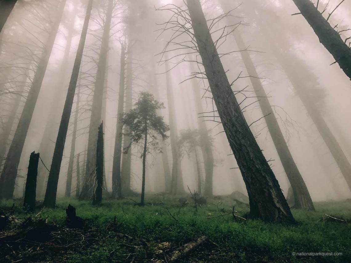 tale_of_two_california_bears_fog_forest