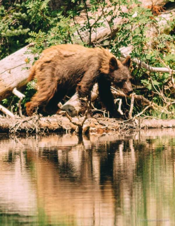 those_who_wander_in_mount_rainier_bear