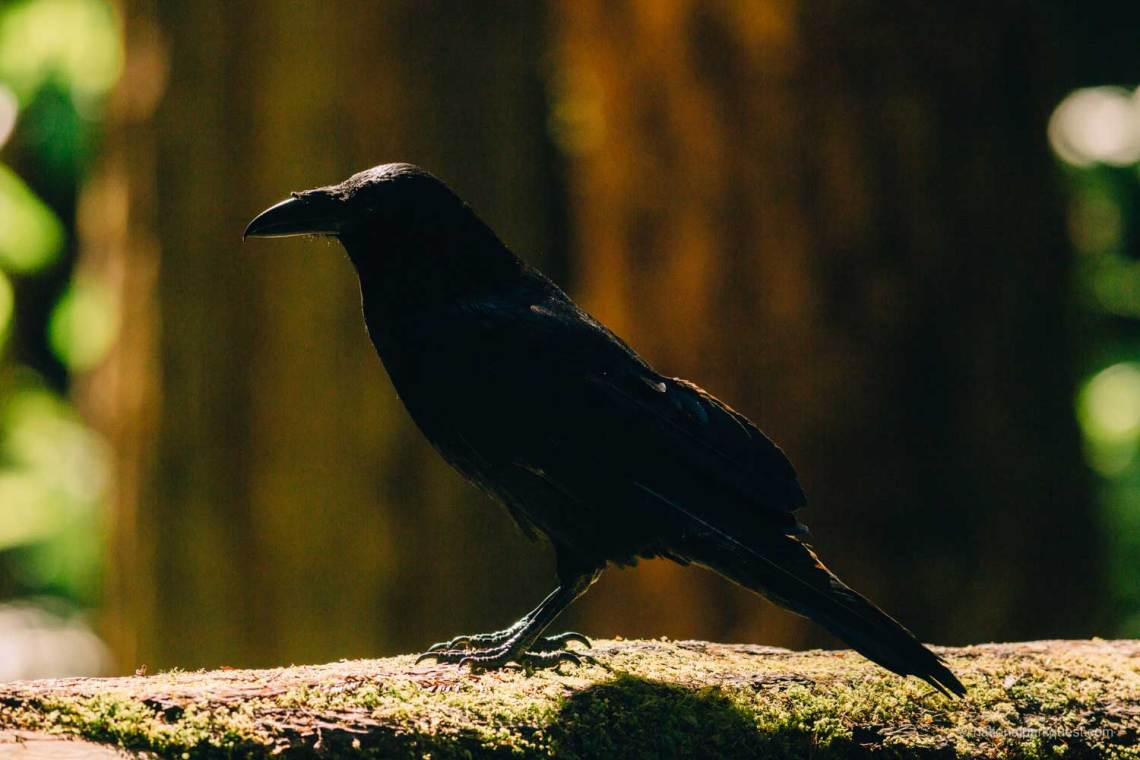 words_of_a_redwood_tree_poem_national_park_quest_crow