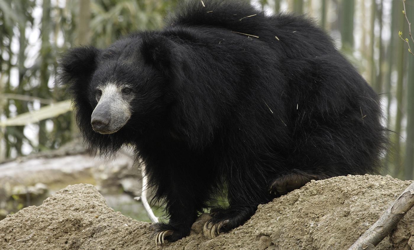 Black Desert Hd Wallpaper Sloth Bear Smithsonian S National Zoo