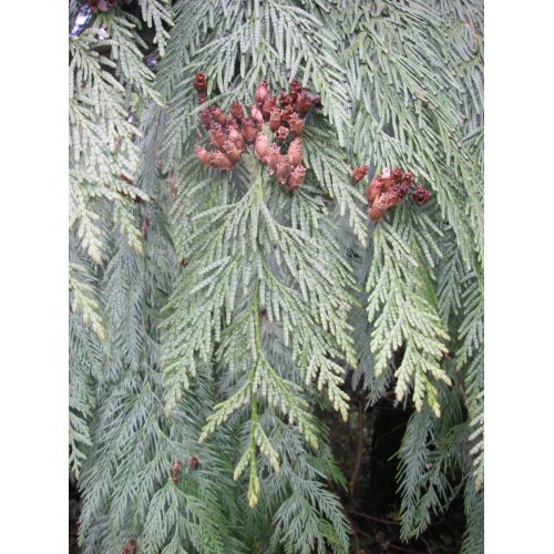 Medium Crop Of Southern Red Cedar