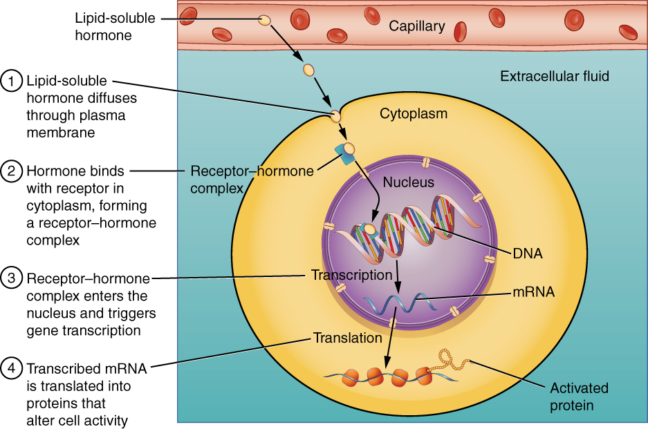 The endocrine system \u2014 hormones It\u0027s a natural universe