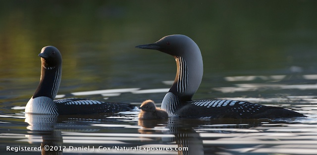 A Pacific Loon family on a small lake in the arctic recently captured for the Arctic Documentary Project. Watermark in the lower left corner.