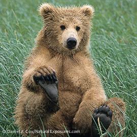 POLAROID PHOTO TOUR 00470-35413 Alaska Brown Bear