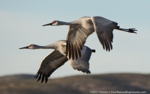 A pair of sandhill cranes in flight heading out to feed. Photo shot with the Olympus OM-D EM-1 Mark ll with Leica 100400mm zoom.