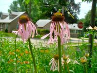 FOUR FOR EARLY SUMMER | Natural Midwest Garden