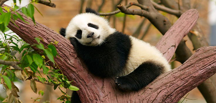 Cute Babies Wallpaper With Tears Good News Giant Pandas Are No Longer Endangered