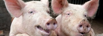 GMO Pigs Coming Soon with Help of USDA and Biotech