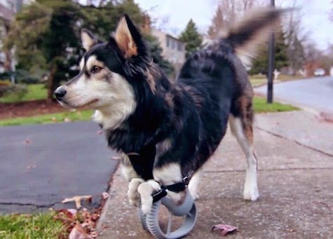 Lucky dog runs free with 3D-printed prosthetics