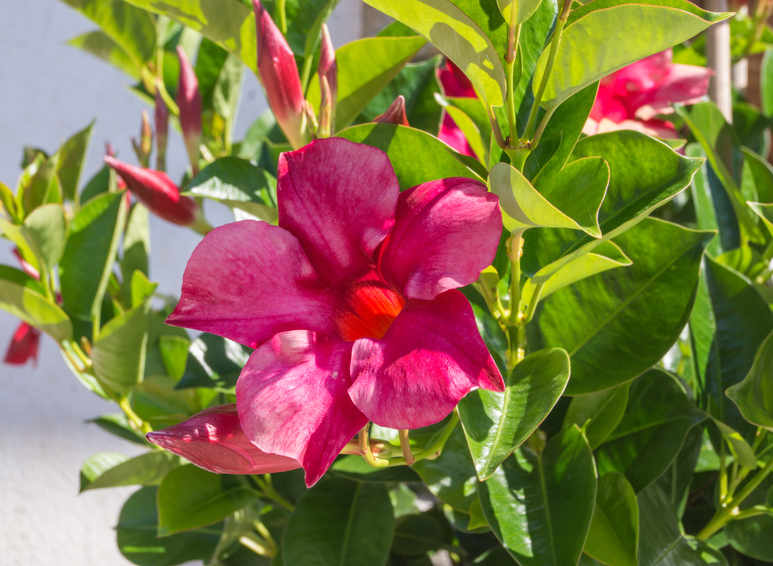 Plante Soleil Direct Mandevilla - Care, Pruning And Re-potting
