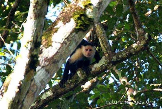 Capuchin monkey tree