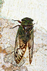Cicada - Photo