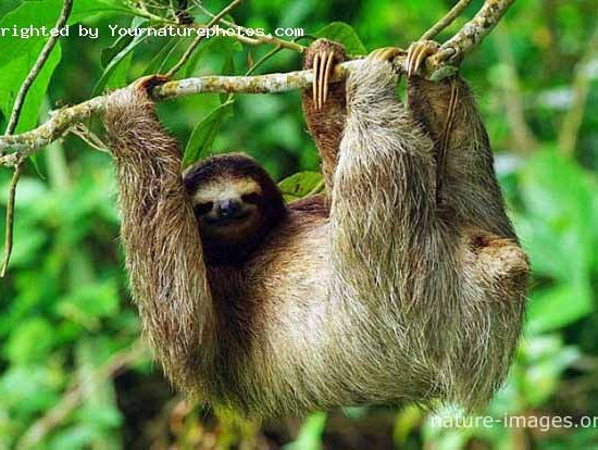 three-toed sloth tree