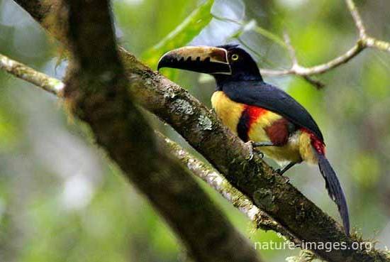Collared Aracari Rain Forest