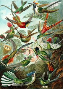 Haeckel Hummingbirds