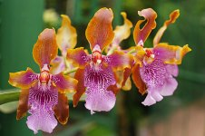 Beautiful Bi colored Orchid Flowers