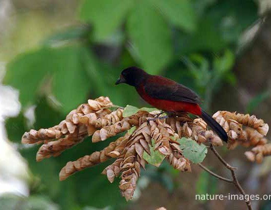 ant tanager