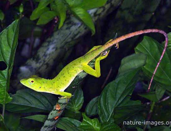 baby iguana picture