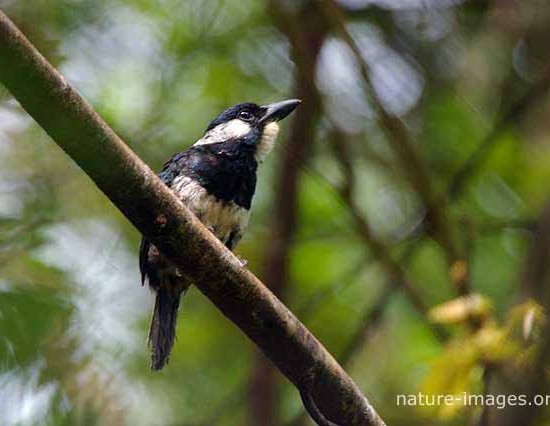 Black-breasted puffbird