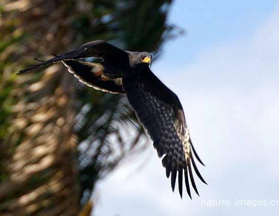 Black Hawk BIF
