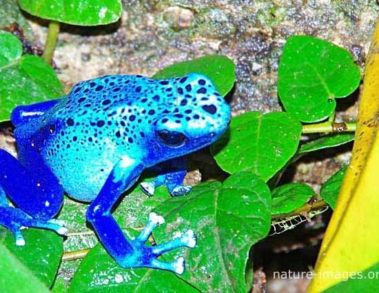 blue poison dart