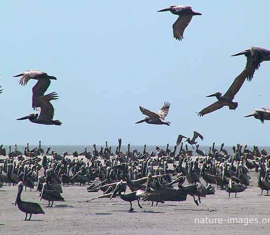 Lots of Brown pelicans