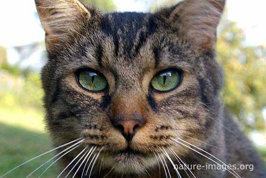 Grey Cat Green Eyes