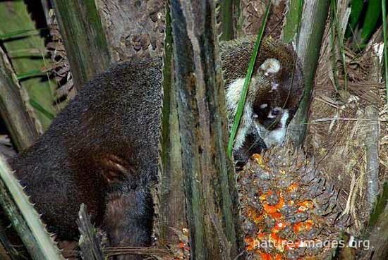 White-nosed coati eating