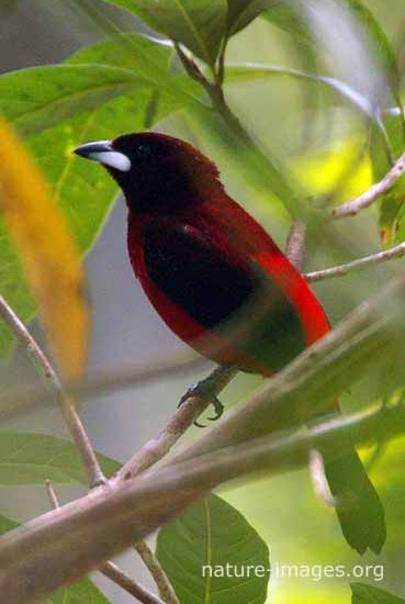 Crimson-backed-tanager