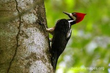 Crimson-Crested-Woodpecker