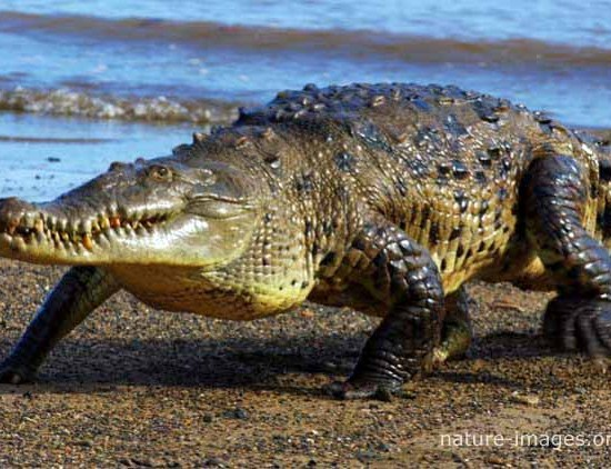 Saltwater Crocodile Coiba