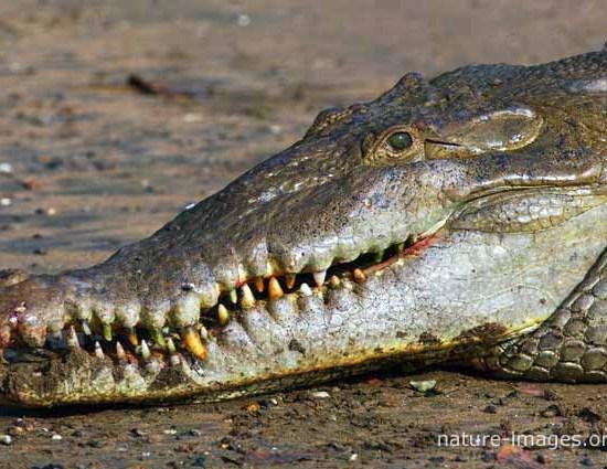 Saltwater Crocodile closeuop