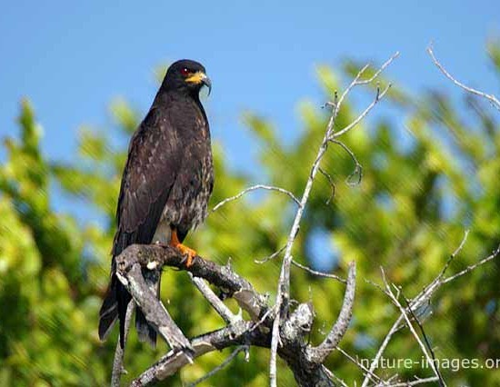 Black Hawk on Tree