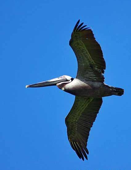 Brown pelican BIF