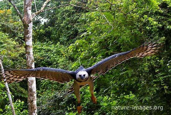 Harpy Eagle BIF