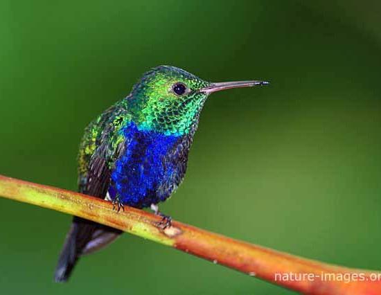 Violet Bellied Hummingbird