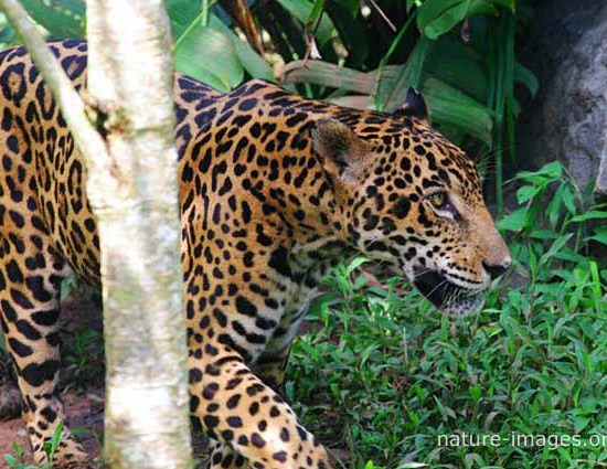 Jaguar walking in the rain forest
