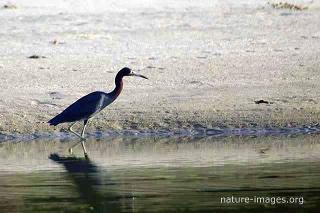 Little-blue-heron