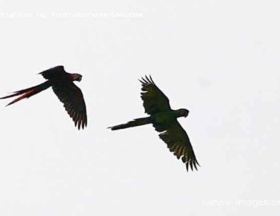 Macaw pair in flight
