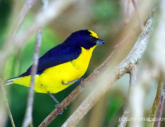 Thick-billed euphonia male