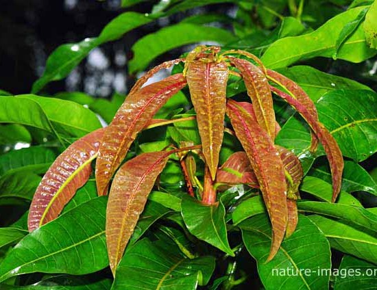 New mango tree leafs