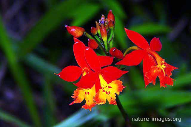 red Orchid flowers photo taken in  Panama